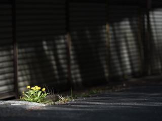道端に咲くタンポポと差し込む光