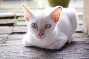 Portrait of white cat, eyes stared straight ahead and leisure on wooden floor background.