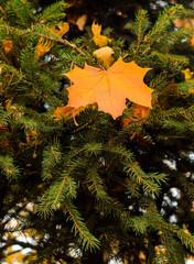 autumn yellow leaf on spruce green tree