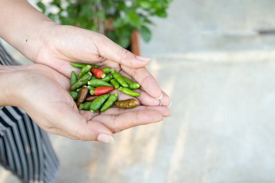 two hand picking a chilli