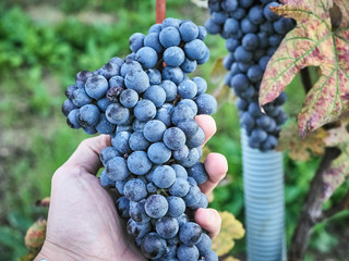 Shot of beautiful dark grapes