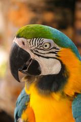 Costa Maya, Blauflügelara , Primolius Maracana