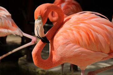 Costa Maya, Flamingo, Phoenicopteridae