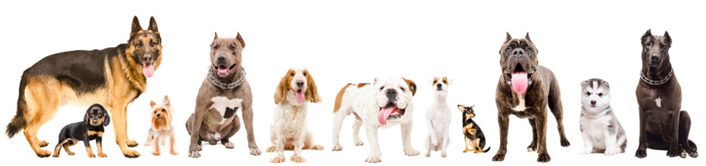 Group of eleven cute dogs, isolated on white background