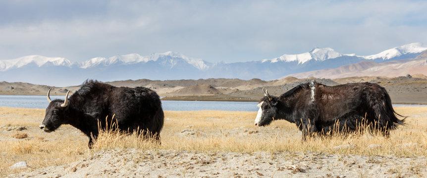 Two yaks near Lake Karakul (Xinjiang Province, China). Along the Karakorum Highway.