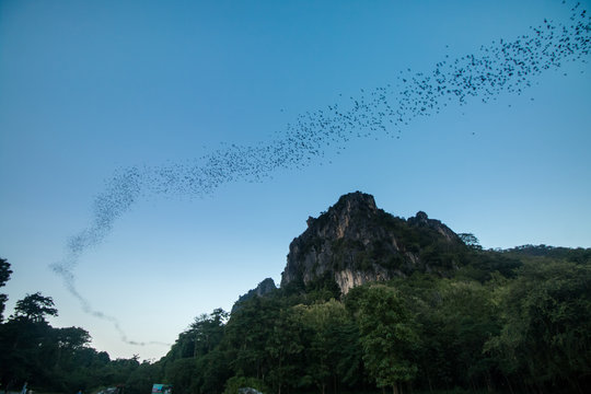 Bats fly out cave to sky at suskothai thailand