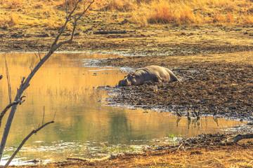 Cape hippopotamus or South African hippopotamus resting on a shore of river in Pilanesberg National Park, South Africa, a popular park near Johannesburg and Pretoria.