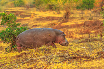 Cape hippopotamus or South African hippopotamus walking in natural habitat, Kruger National Park, South Africa.The Hippo is a large, herbivorous, semiaquatic mammal and most dangerous mammal in Africa