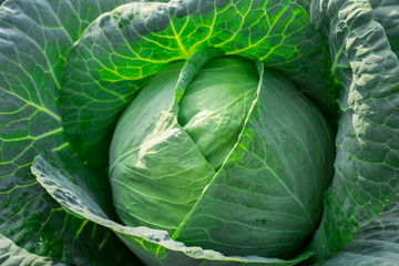 cabbage on the white background