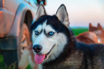 Siberian husky looking out. Smiling muzzle husky dog on background blue evening sky.