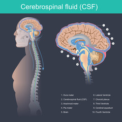 Cerebrospinal fluid. Cerebrospinal fluid (CSF) It protects the brain and spinal cord from impact, eliminates waste from the brain and spinal cord, and helps toxins in the blood enter the brain tissue.