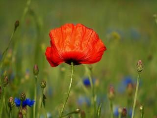 Obraz czerwony mak wśród polnych kwiatów - fototapety do salonu