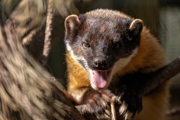 Close-up portrait of yellow-throated marten with open mouth. Kharza (Martes flavigula) lying on pine branch. Beautiful shiny golden-yellow fur. Wall mural