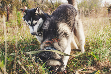 Two Siberian Husky walk in the field and dig pits. Black and white dogs. Game of two dogs