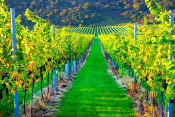 Sussex, england, united kingdom, wine growing region, looking down two long rows of grape vines in a vineyard with lines of ripe red grapes on the vines, green grass is in the middle Wall mural