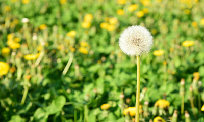 Many Dandelion on field with space for text. .Dandelion flower meaning is Long lasting happiness and youthful joy.
