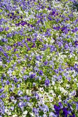 pansy flowers field
