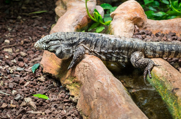 Argentine black and white tegu (Tupinambis merianae), also called the giant tegu