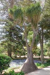 Ponytail Palm (Nolina recurvata, Beaucarnea recurvata)