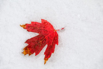 Red leaf of sugar maple