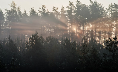 Sunrise in a pine forest. The rays of the sun in the morning shining through the branches of trees in a haze.