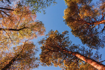 crowns of trees in autumn with yellow leaves, view from below