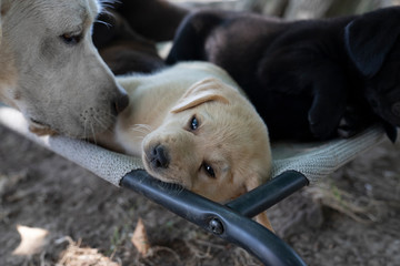 cute little labrador retriever dog puppy outdoors in nature with mother