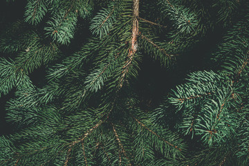 Green branches of fir or pine tree. Christmas background.