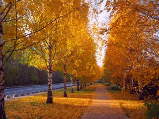 Beautiful autumn birch alley, autumn background