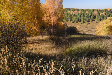 Autumn landscape. Birch trees and dry grass on hills in sunny day
