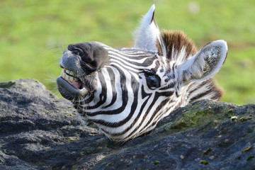 Head shot of a zebra pulling a funny face Wall mural