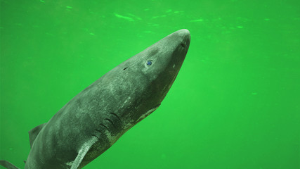 Greenland shark, deep sea ocean creature Somniosus microcephalus