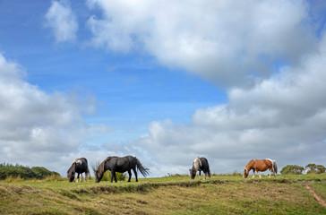 Dartmoor England Great Brittain. Horses
