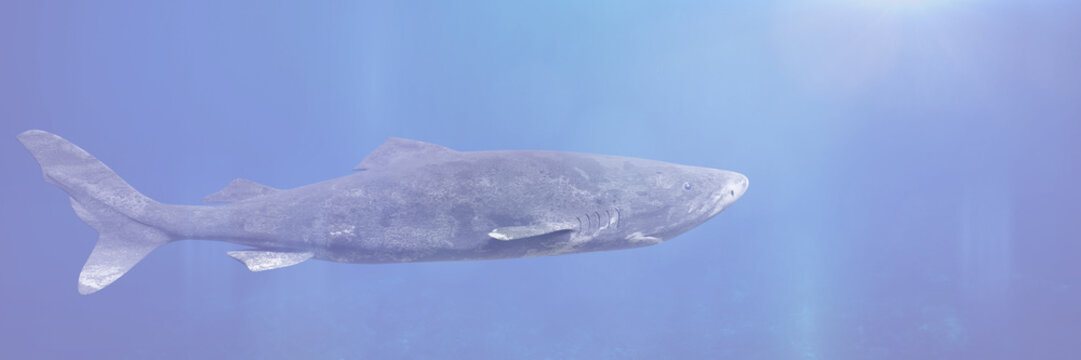 Greenland shark swimming, Somniosus microcephalus, shark with the longest known lifespan of all vertebrate species