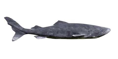 Greenland shark isolated on white background, Somniosus microcephalus side view