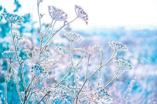 the grass is frozen in frost. beautiful winter landscape. clear frosty weather of winter.  soft selective focus