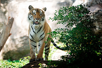 Bengal Tiger in forest