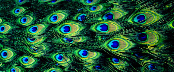 beautiful natural bright background (texture), peacock feathers, panorama