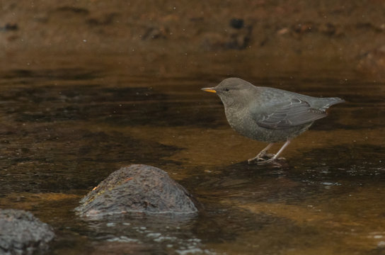 An American Dipper in a Mountain River Searches for Food
