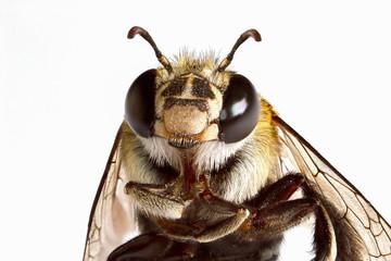 Foto op Textielframe Bee Super macro head shot of bee on white background