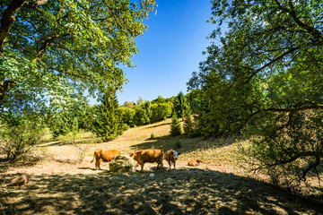 Cattle grazing on a hillside in the summer