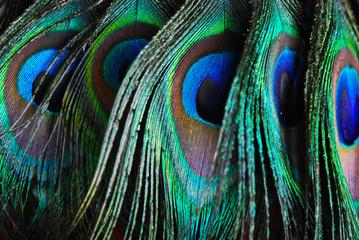 Tuinposter Pauw plumes de paon