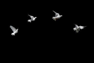 Doves fly white on black. Pigeon Peacock in graceful flight.