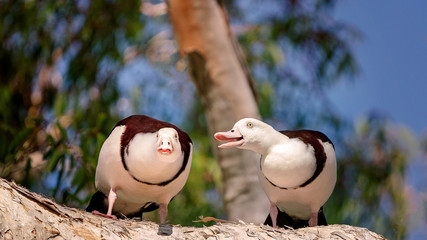 Radjah Shelduck Commonly Known As Burdekin Duck