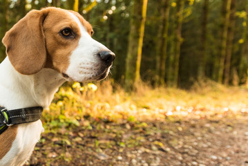 Dog beagle stands on path in forest portrait on left