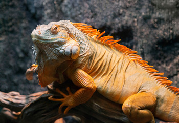 Close-up of a red iguana