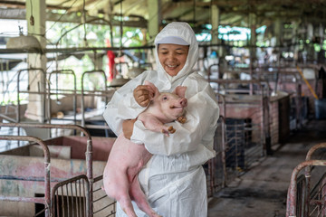 Asian veterinarian working and checking the healthy of young pig in hog farms, animal and pigs farm industry