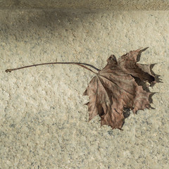 Dry maple leaf on concrete surface, top view flat lay, autumn background