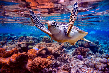 Spoed Fotobehang Koraalriffen Sea turtle swims under water on the background of coral reefs