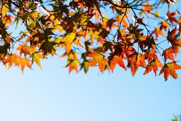 Maple in sky